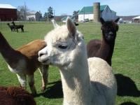 2016 GPRG48 Alpaca Farm Tour